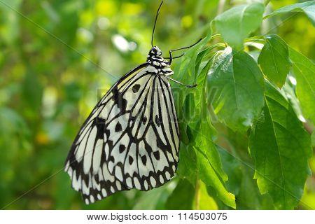 Beautiful Butterfly - Idea Leuconoe Clara