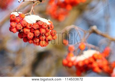 Bunch Of Rowan In The Snow, Cold, Sunny