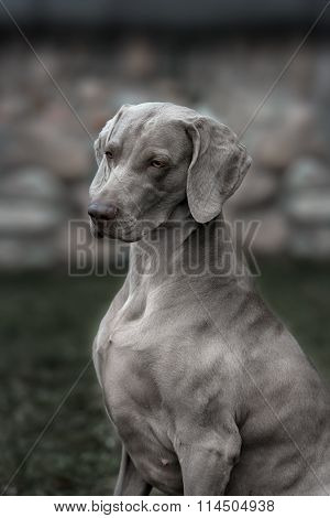 Weimaraner Dog.  Closeup Portrait