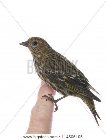 Pine Siskin perched on human index finger