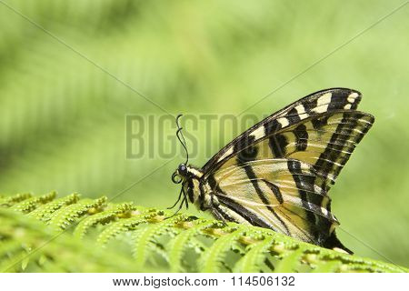 Black Swallowtail on fern leaf