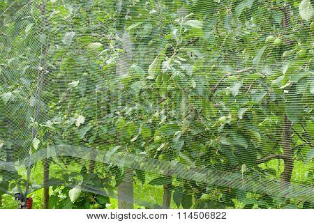 Smart net system- Apple tree netting. Closeup