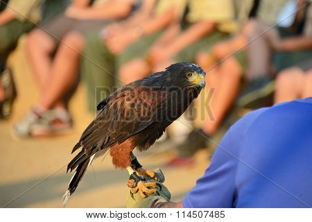 Bird of Prey Harris's Hawk held on glove