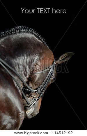 Portrait of the sport horse