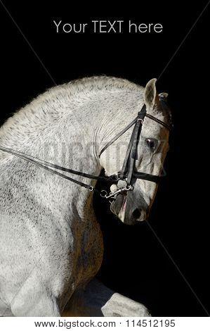 Portrait of the white sport horse