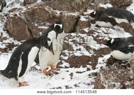 Gentoo Penguin Mating Behaviors