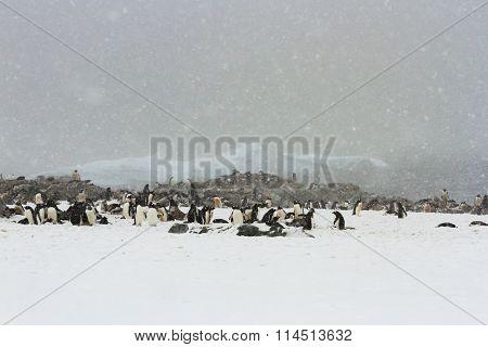 Snowy Gentoo Penguin Rookery