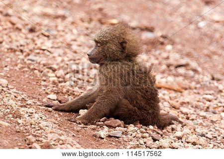 Sick baby baboon dying on the ground