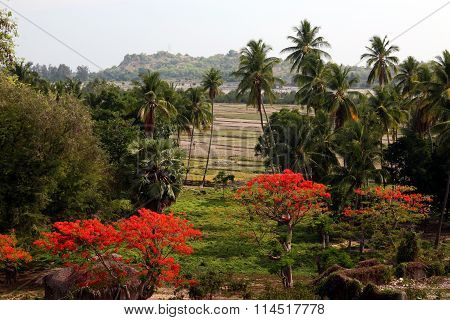 Asia East Timor Timor Leste Loihuno Ricefield