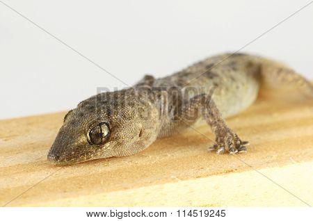 Gecko Lizard and Wood
