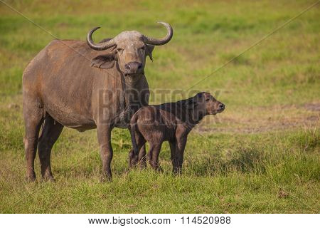 African Buffalo With Calf,