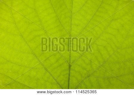 Green Leaf Nerve Macro Closeup Background