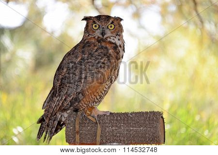 Great Horned Owl perched on post