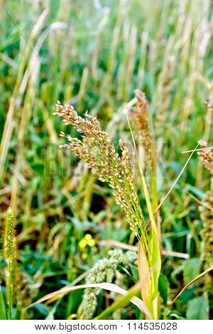 Millet ears on field background