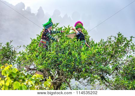 Thai young women tea pickers on tea trees 300 years old