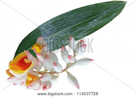 Alpinia zerumbet 'Shell Ginger' flower and Leaf isolated on white background