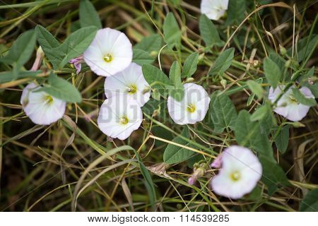 Pink flowers of bindweed