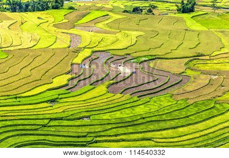 terraced fields harvest season