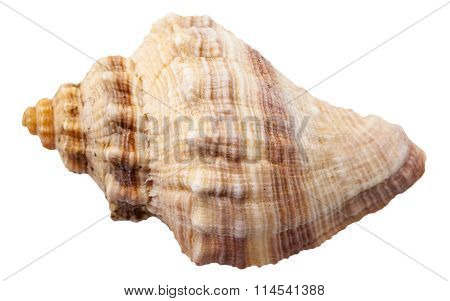 Spiral Shell Of Big Sea Mollusk Snail Isolated