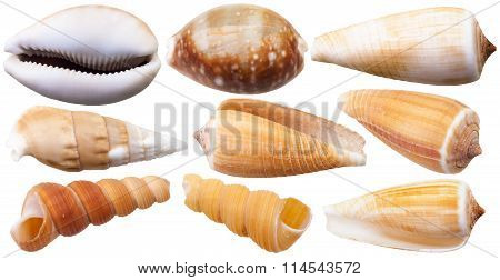 Set Of Mollusc Shells Of Sea Cowry And Cone Snails