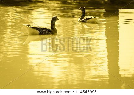 Pair Of Gray Goose