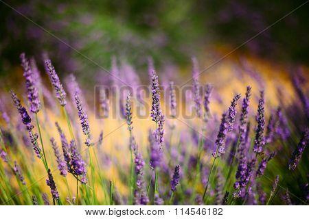 Lavender Flowers in Provence, France. Summer season