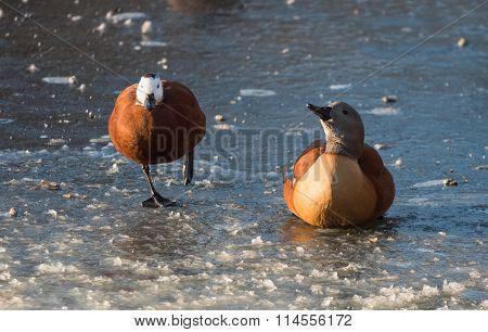 swan, ice, winter, bird, white, snow, nature, water, animal, wings, lake, frozen, cold, wildlife, da