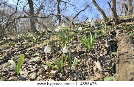 Snowdrop Flowers On Field