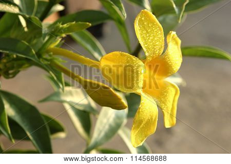 Golden Trumpet Vine