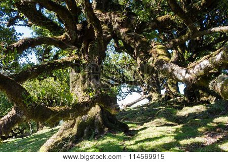 Ancient Laurel Forest In The Sunshine