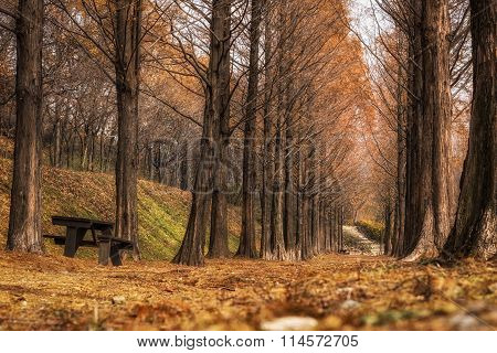 Metasequoia Road In Seoul