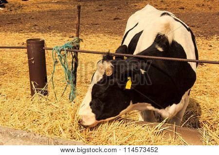 Black-white Milch Cow Eats Hay Behind Barrier Outdoors