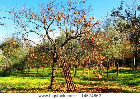 Orange tree with ladder