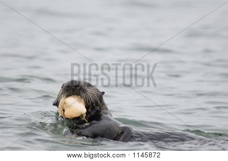 Sea Otter Eating Clam