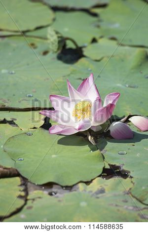 Thailand Bangkok Samut Prakan Lotus Flower