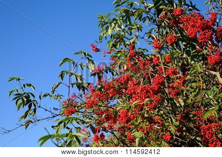 Red berries of mountain ash.