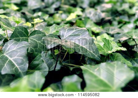Beautiful ivy leaf on a green background