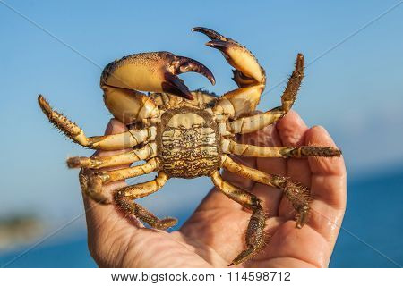 The Human Hand Holds A Brown Crab