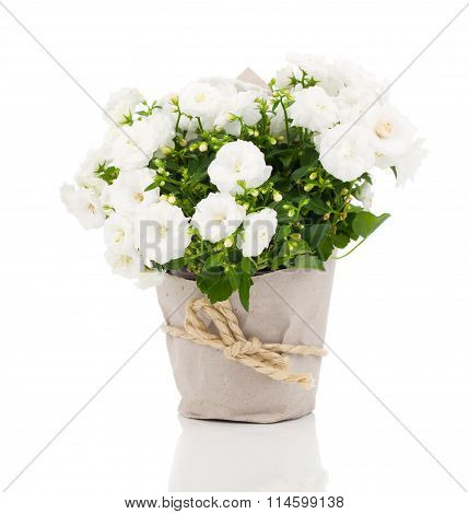 White Campanula Terry Flowers In Paper Packaging, On A White Background.