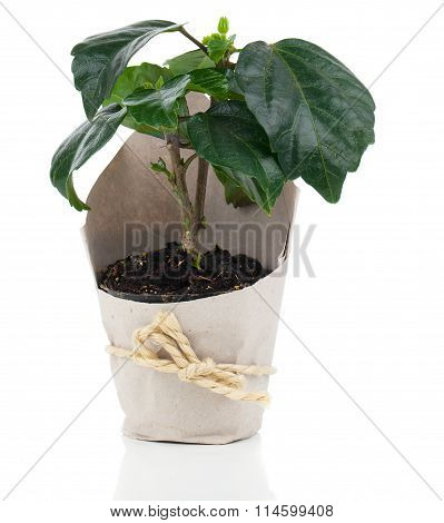 Hibiscus Houseplant In Paper Packaging, Isolated On White Background. Malvaceae.