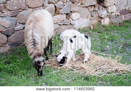 A white suffolk sheep with a lamb