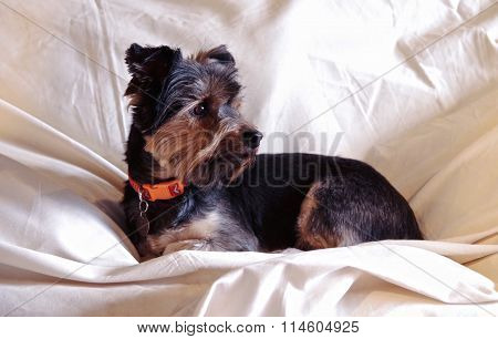 Yorkshire Terrier Portrait in Naural Light
