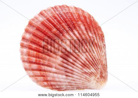 Single Seashell Of Mollusk Isolated On White Background, Close Up