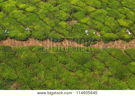 Munnar, India - January 5: Women picking tea leaves in a tea plantation around Munnar, Kerala, India on January 5, 2016.