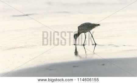 Shorebird Looking For Food