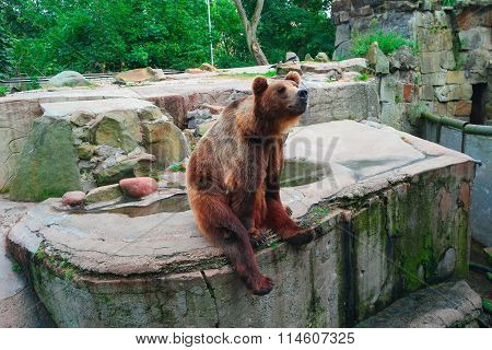 Brown Bear Ursus Arctos Sitting