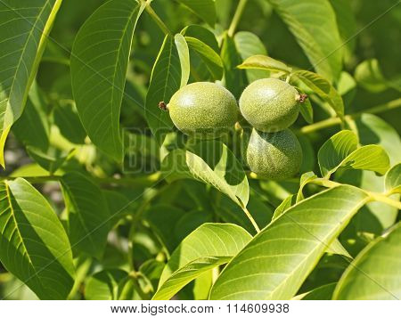 Fruits Of Walnut On A Branch