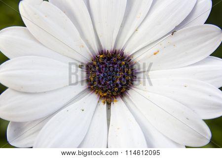 White wild daisy, zoom