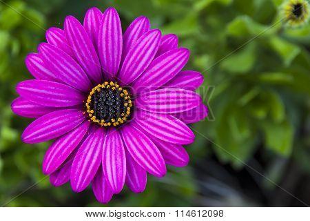 Violet wild daisy