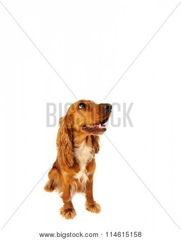 Cute brown cocker spaniel with empty space